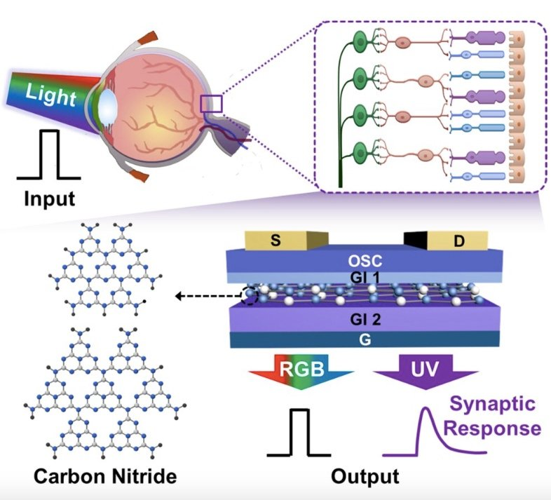 Artificial photo-sensitive neuromorphic devices are designed to mimic a biological retina