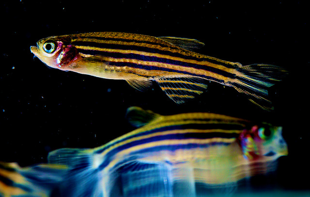 Stanford tracked the neurons in zebrafish brains, tying brain activity to alertness.