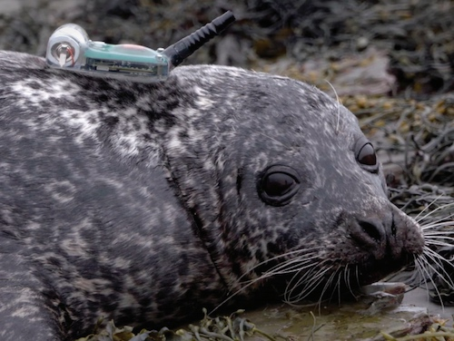 Tracker affixed to a harbor seal