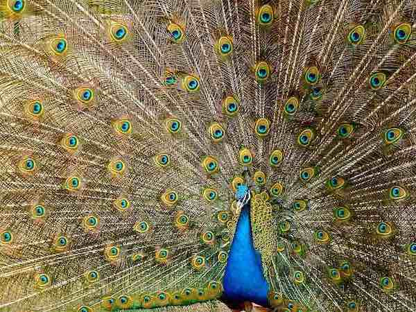 A peacock showing its feathers.