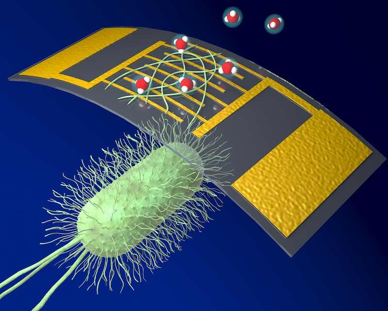 Protein nanowires harvested from geobacter sulfurreducens and between electrodes.